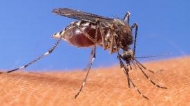 ¿Por qué el virus chikungunya se expandió tan rápido en América?