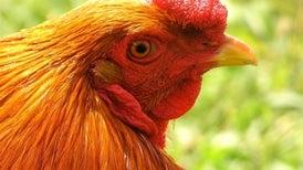 Gobierno de EE.UU. aprueba uso de gallina transgénica