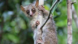 Descubren tres nuevas especies de lémures en Madagascar