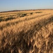Hackers de genomas de plantas buscan mejores formas de producir cultivos a la medida