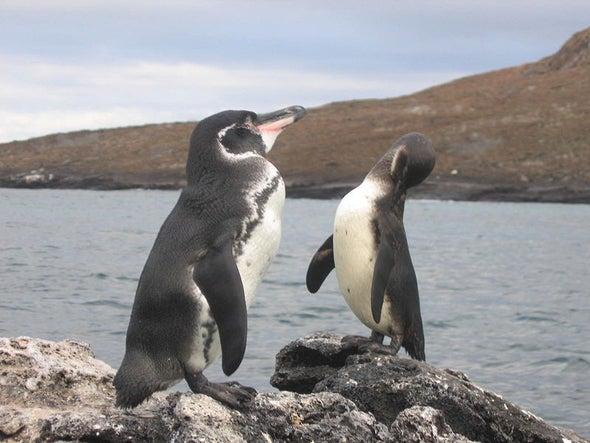 La población de pingüinos de Galápagos se recupera