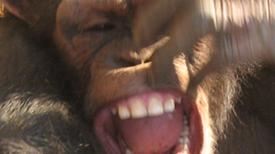 ¿Se comunican los chimpancés a través de la risa? [con vídeos]