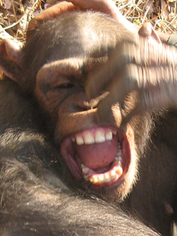 ¿Se comunican los chimpancés a través de la risa?