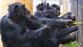Como los humanos, los chimpancés favorecen la cooperación y castigan a los aprovechados