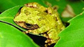 Descubren dos nuevas – y curiosas– ranas en Taiwán