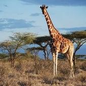 La jirafa reticulada.