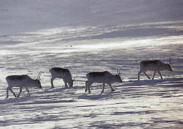 El verdadero reno de nariz roja se enfrenta a las amenazas del cambio climático
