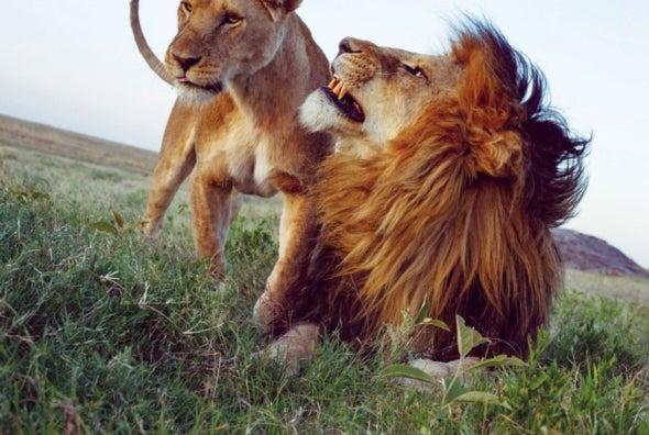 Los leones protagonizan un resurgimiento sorprendente, pero solo cuando permanecen tras las cercas