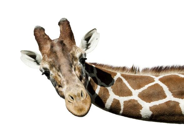 ¿Cómo adquirió la jirafa su largo cuello?