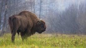 Arte rupestre y ADN antiguo desvelan el origen del bisonte europeo