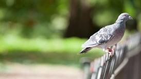 Las palomas podrían ayudar a detectar el cáncer de mama