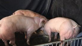 Con una pequeña alteración genética, crean cerdos súper-musculosos