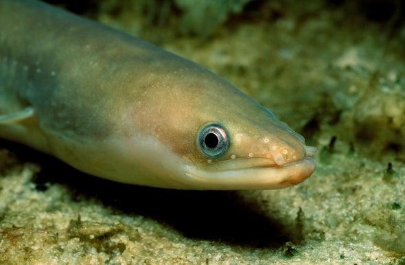 Los misterios de la migración de las anguilas, al descubierto