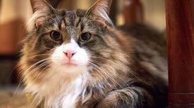 ¿Cómo los gatos se convirtieron en mascotas?