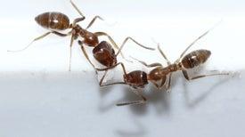Los movimientos de las hormigas esconden patrones matemáticos