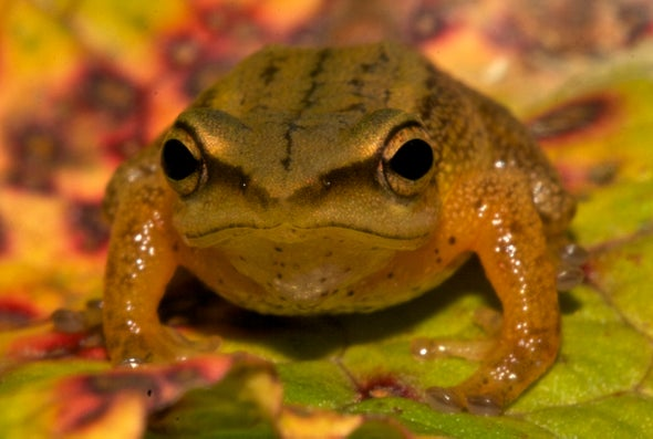 Descubren en Colombia nueva especie de rana dorada