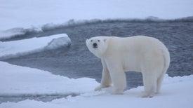 Osos polares son más vulnerables al cambio climático de lo creído