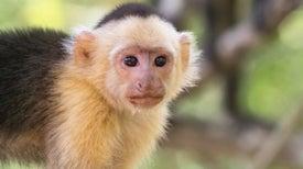 Dientes de mono cuentan la historia de una antigua migración