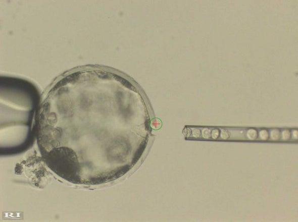 Crean embriones híbridos entre humanos y cerdos con células madre