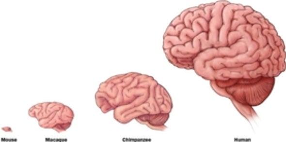Los lípidos del cerebro podrían explicar cómo evolucionó la ...