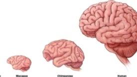 Los lípidos del cerebro podrían explicar cómo evolucionó la inteligencia humana