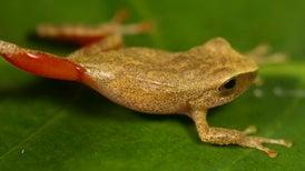 """Descubren en Perú una rana """"bella durmiente"""""""