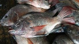 Vendajes de piel de pescado ayudan a sanar heridas
