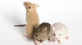 Argentina exporta ratones transgénicos para investigar el cerebro