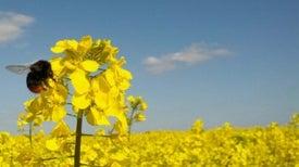 Las abejas prefieren el néctar con pesticidas [Galería de fotos]