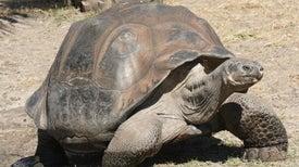 Pruebas genéticas identifican una nueva especie de tortuga en las Islas Galápagos