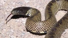 El ser humano es un extraordinario detector de serpientes