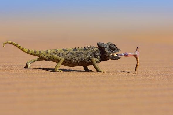 Los camaleones capturan grandes presas gracias a su viscosa saliva [CON VÍDEO]