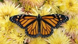 Las matemáticas explican cómo se orienta la mariposa monarca