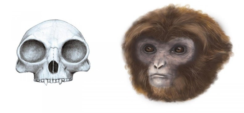 Hallan en Cataluña un simio de cinco kilos que vivió hace 11,6 millones de años