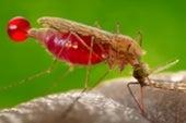 Nobel de Medicina reconoce la lucha contra la malaria y la 'ceguera de los ríos'