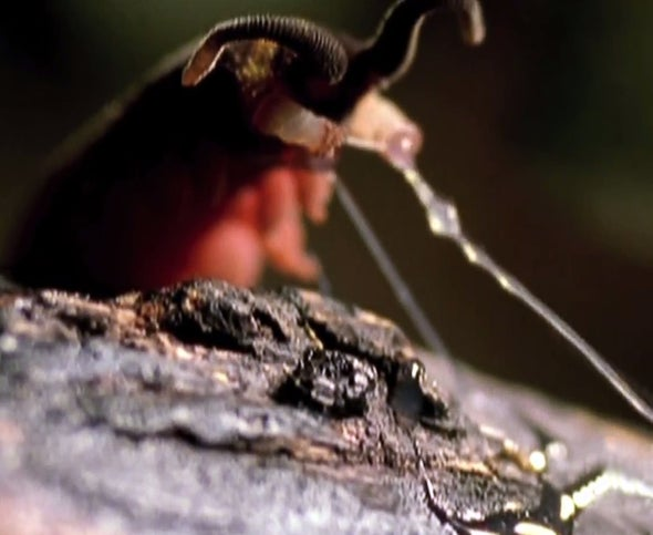 Conozca a los peripatos: gusanos que tiran redes de goma para atrapar sus presas