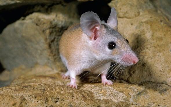 Hallan el primer roedor con un ciclo menstrual similar al humano