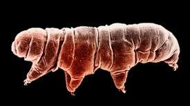 Una proteína de los tardígrados protege al ADN humano de la radiación