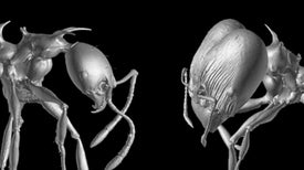 Viserion y Drogon, dos hormigas inspiradas en 'Juego de Tronos'