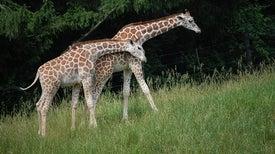 """La """"extinción silenciosa"""" de la jirafa finalmente logra algo de atención"""