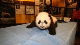 El panda Bei Bei es presentado oficialmente ante la prensa