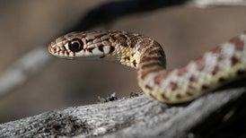 Así fue la transición de los lagartos a las serpientes