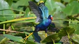 Audubon estrena Guía 'online' de las aves de América del Norte en español
