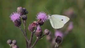 Alas de mariposa inspiran diseño de celdas solares de alta eficiencia