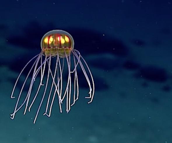 Descubren una medusa tan surrealista que parece irreal