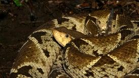 Estudio halla una correlación entre el fenómeno de El Niño y las mordeduras de serpientes