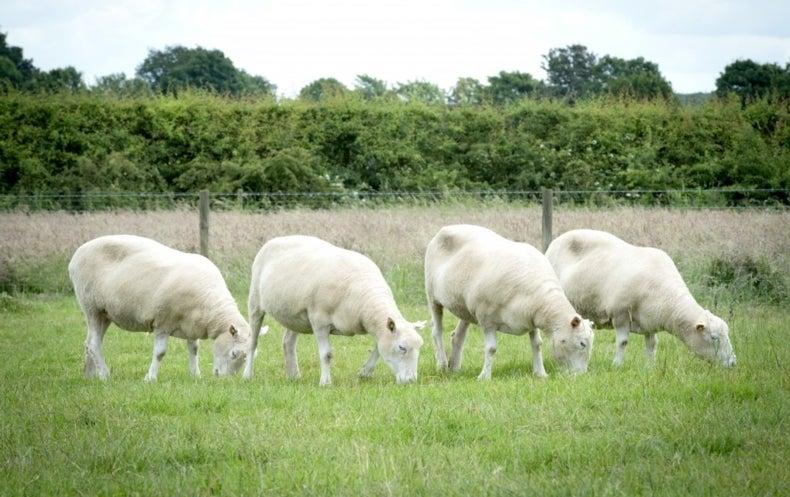 Cuatro clones de Dolly crecen como ovejas sanas y fuertes