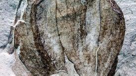 Unos fósiles de tomatillos hallados en la Patagonia retrasan el reloj evolutivo de las solanáceas