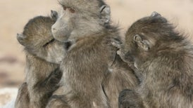 Los babuinos buscan 'amigos' de su misma edad y gustos