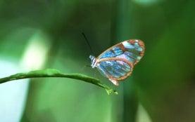 Mariposas panameñas ofrecen pistas sobre los efectos del cambio climático en los bosques tropicales